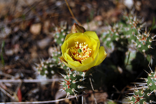 Opuntia fragilis / by Tony Frates on Flickr