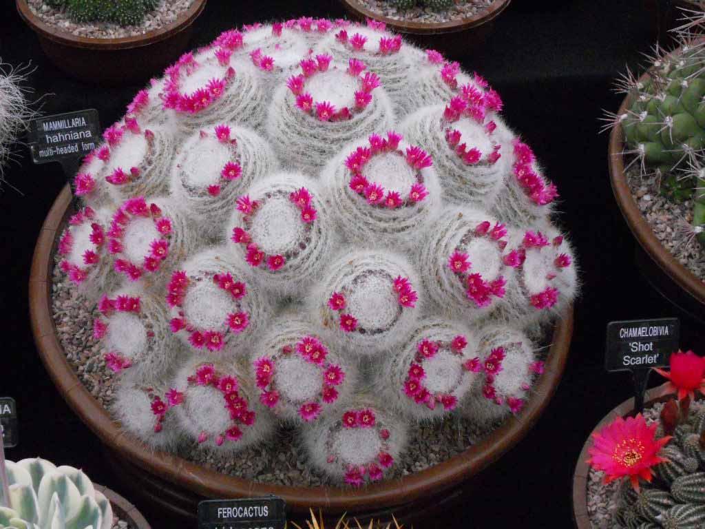 Southfield Mammillaria