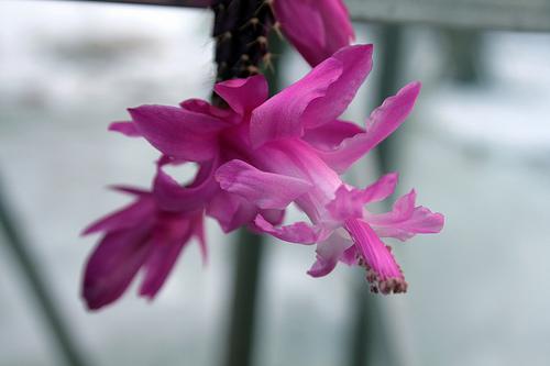 Schlumbergera opuntioides in flower / by Blossfeldiana on Flickr