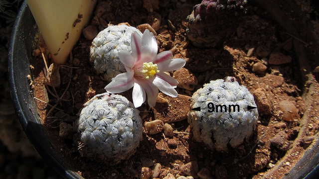 Mammillaria sanchez-mejoradae / by Triangulated Truth on Flickr (CC). Barely a centimeter across, and so are the flowers of this tiny Mammillaria.