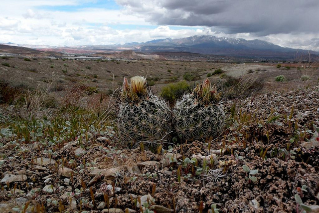 Pediocactus sileri in habitat (White Dome Nature Reserve in Utah).