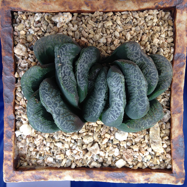 Haworthia truncata hybrid at the San Diego Cactus and Succulent Society Winter Show / by Reggie1 on Flickr (CC BY-NC 2.0)