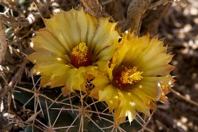 Coryphantha robustispina var. scheeri, Alkali Lakes ACEC, northeast of Dell City, Otero County, New Mexico, 21 Jul 2014 / by Patrick Alexander on Flickr CC