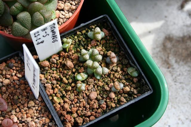 Mesemb seedlings / by Stuart on Flickr (CC)