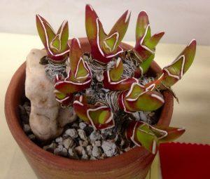 Glottiphyllum peersii / by Reggie1 on Flickr (CC)