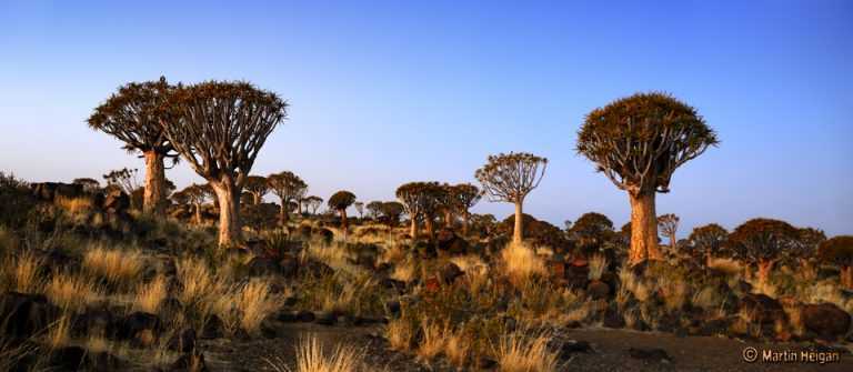 Quiver tree forest by Martin Heidan on Flickr